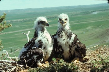 """Mosaic look. Thirty-four to 36 days after hatching the nestlings are able to walk and stand more, but still lie down most of the time. Their """"buzzard"""" look is disappearing at this stage."""