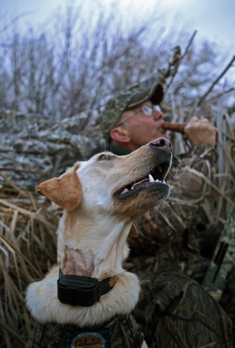 "All ""eyes to the sky"" as duck hunter Bob Frey and his yellow lab, Maggie, intently follow ducks circling overhead."
