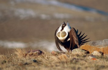 A male sage grouse unfurls its chest in a breeding display. Habitat protection for the bird has proven to benefit wildlife and cattle. | Photo by Jeremy Roberts / conservation Media