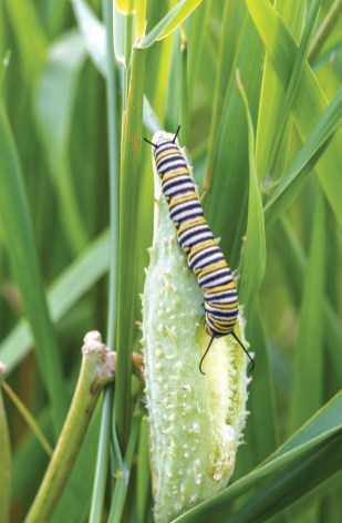 This caterpillar is feeding on a milkweed seed pod. During this stage the monarch does all of its growing. As the caterpillar's body grows larger it sheds its skin. There are five parts to this stage, which are known as Instars.
