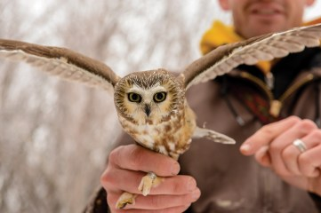 Matt Larson holds a northern saw-whet owl that was netted during a research excursion near Missoula.