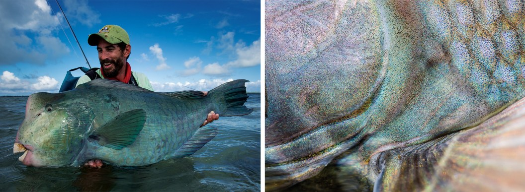 """A bumphead parrotfish on the flats of St. Brandon's Atoll. The """"bumpies"""" are one of the most bizarre fish that can be caught on a fly: more like a creation from the mind of Dr. Suess than a known and recognized sport fishing species! By Jim Klug   A detailed look at the tiny scales, colors and shapes of a native wild Alaskan grayling (Bristol Bay, Alaska). By Bryan Gregson"""