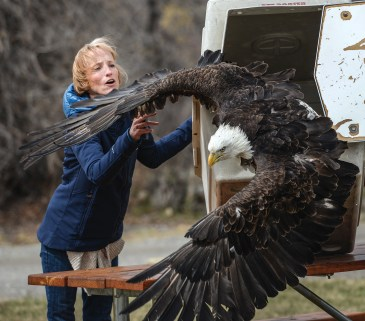 Bozeman resident Carol O'Neil helps release a bald eagle that was rehabilitated by the Montana Raptor Conservation Center after it was rescued from a leghold trap near Fort Belknap in March.