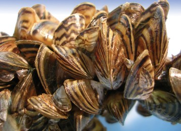 Zebra mussels. Photo by U.S. Fish & Wildlife Service