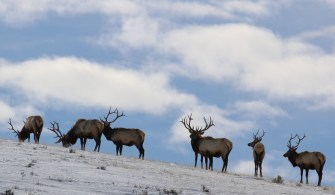Rocky Mountain elk were reintroduced to CMR in the 1950s and now number in the thousands. Photo by USFWS