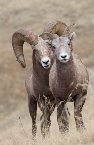 Bighorn sheep are gregarious animals, readily interacting with each other as well as domestic sheep, increasing the threat of disease exposure.