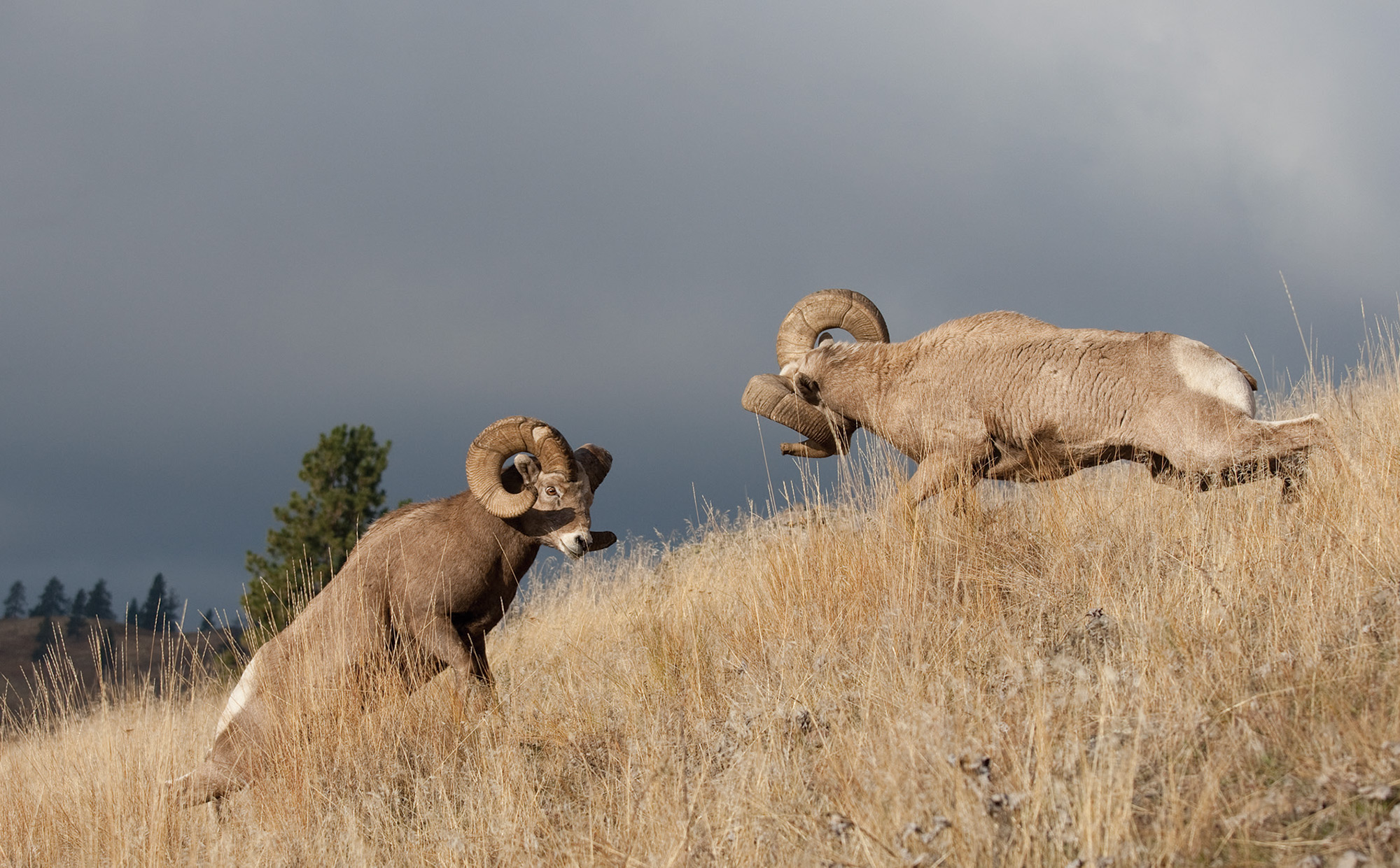 Montana's Bighorn Sheep Back from the Brink - Big Sky Journal