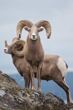 Bighorn rams can be aged according to the conspicuous rings within their horns. Each ring represents a new year of growth.