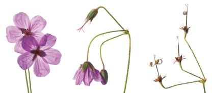 """Wild Geranium"" | Ed Riddell | Photograph | 36"" x 82"""