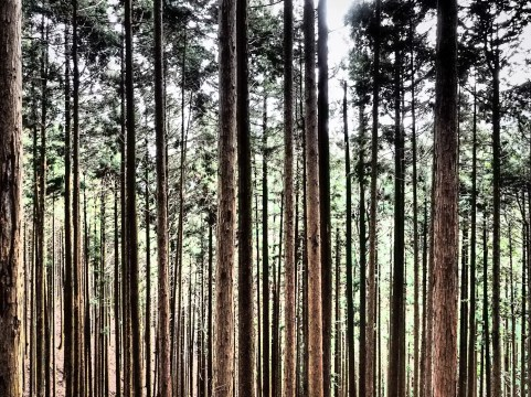 Cedar Woodlot, Mount Mitakesan; Tokyo Japan #dramatictone