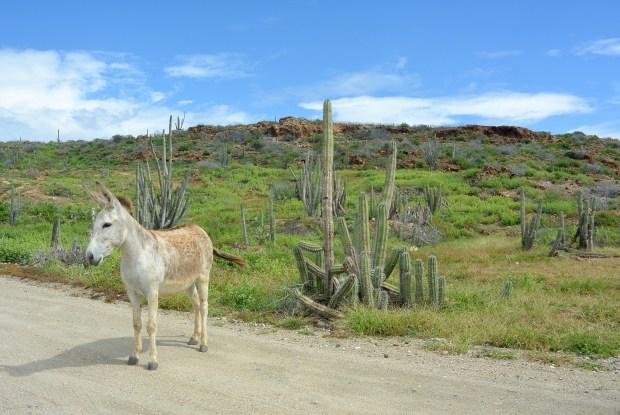 Wild Donkey in Aruba