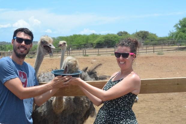 Feeding Ostriches