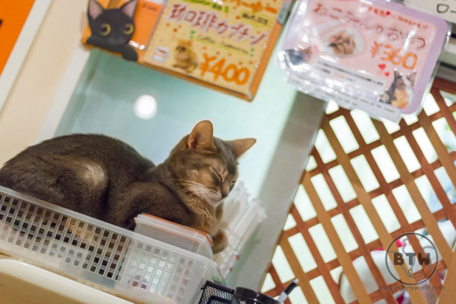 An abyssinian cat sitting in a basket at the greeting window of a cat cafe in Tokyo, Japan