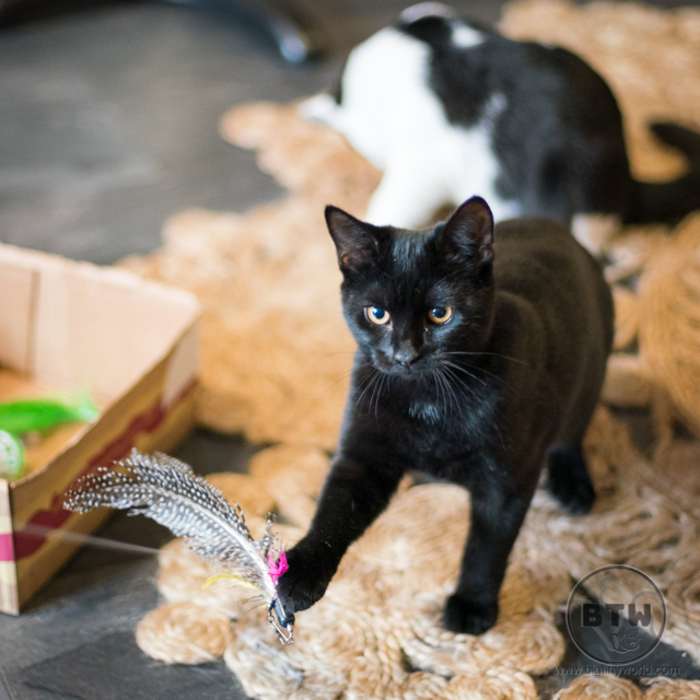 A black cat playing with a fishing toy at a cat cafe in Bristol, UK