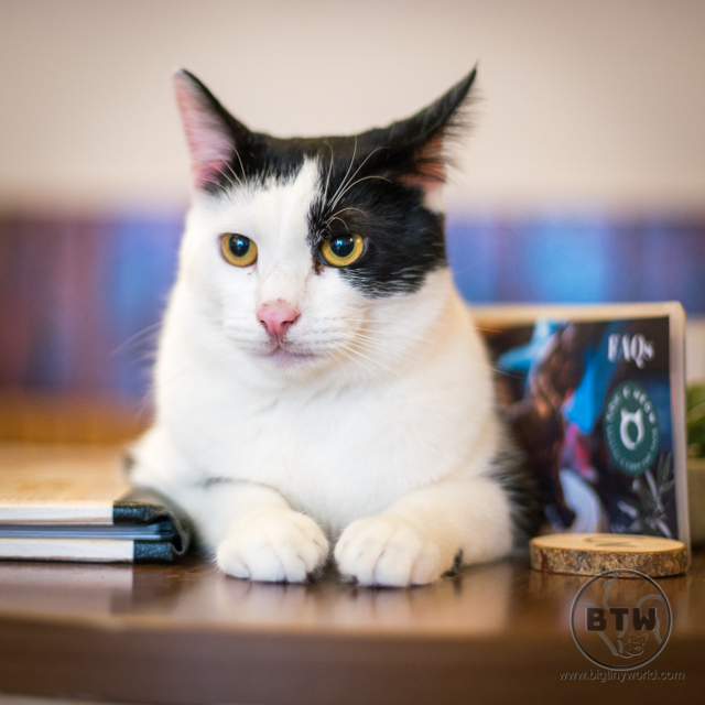 A tux cat showing attitude at a cat cafe in Bristol, UK