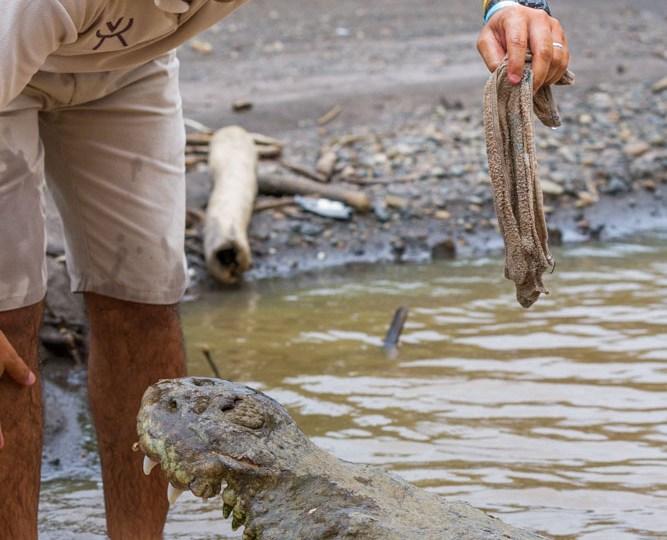 Crocodiles Costa Rica
