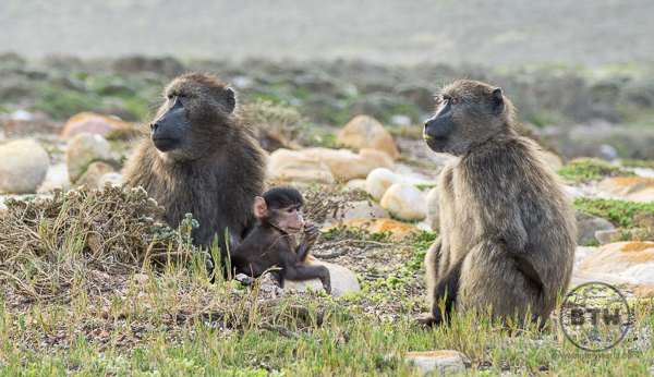 baboons-1