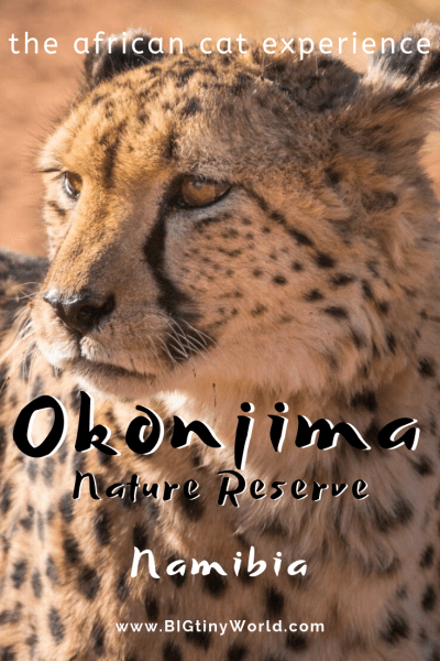 Okonjima Nature Reserve - The African Cat Experience | BIG tiny World Travel | We didn't see cats in Etosha, so we took matters into our own hands by visiting the Okonjima Nature Reserve. Read all about our experience and check out the best place to find cats in Namibia! | #bigtinyworld #travel #africatravel #okonjima #bigcats #wildlifephotography