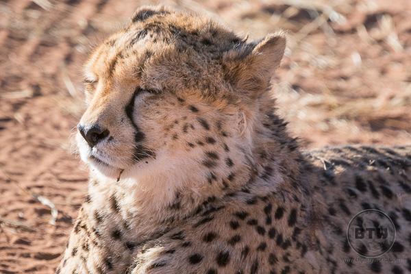 Up Close Cheetah