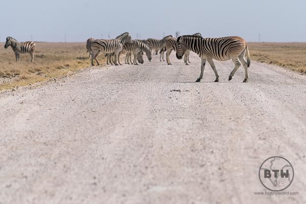 zebra-4