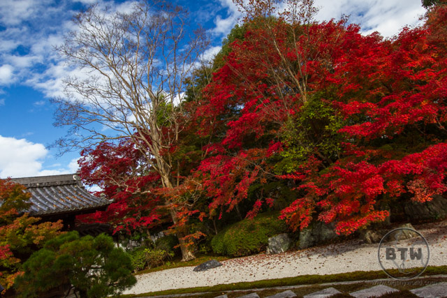 A temple garden in Kyoto, Japan, with a massive red tree dominating the scene