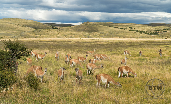 A herd of guanaco in Torres Del Paine National Park