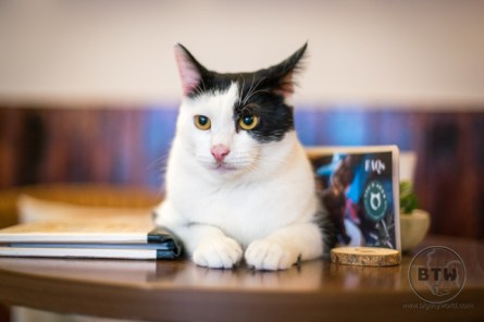 A black and white cat at Bristol's You & Meow cat cafe