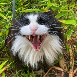 Chispo, a longhair tux cat, yawning in the garden