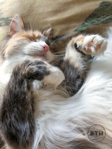 Lola, a longhair tabby and white cat, laying on her back in Portadown, Northern Ireland