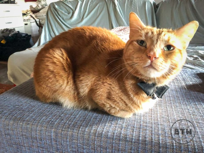 Orange tabby Captain Ahab in a cat loaf at a catsit in Montenegro
