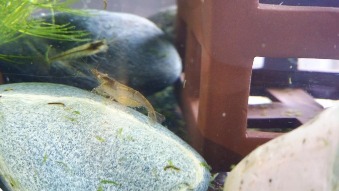産卵用水槽のミナミヌマエビ