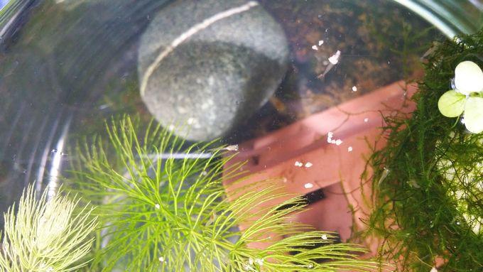 ミナミヌマエビの稚エビが水面に来てメダカのエサを食べる