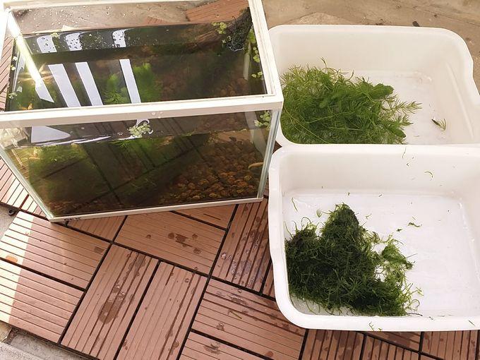 2月中旬 自宅の室内水槽 トリミングして余った水草