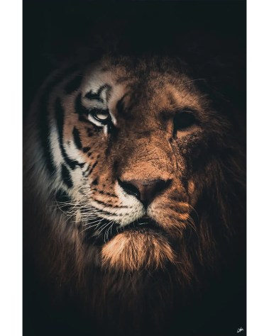Large Tiger Lion Big Cat African Animal Wildlife Surreal Photography