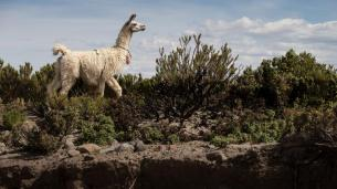A Lama in Bolivia
