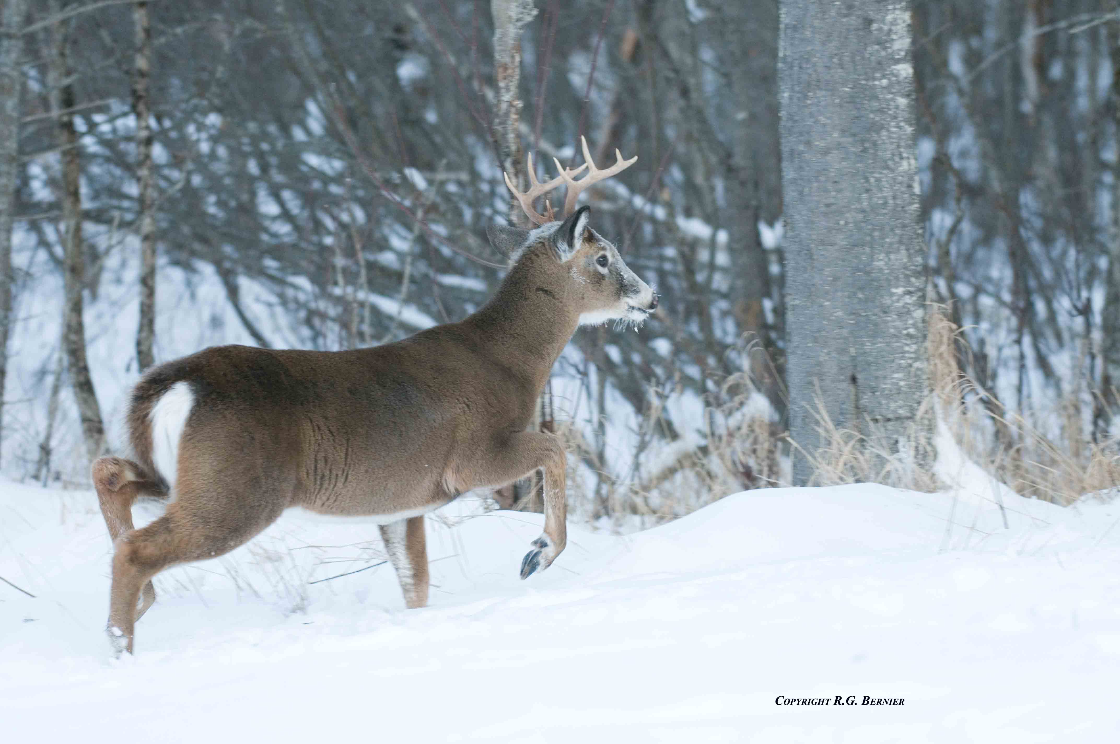 The Annual Migration Part I Bigwhitetail