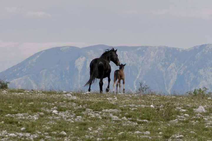 Когда приходит время появиться на свет новому существу, кобылы удаляются от стада. Как только жеребёнок встанет на ноги и сможет сделать несколько шагов - кобыла с малышом возвращается к остальным лошадям. Автор фото Marijo Bošnjak