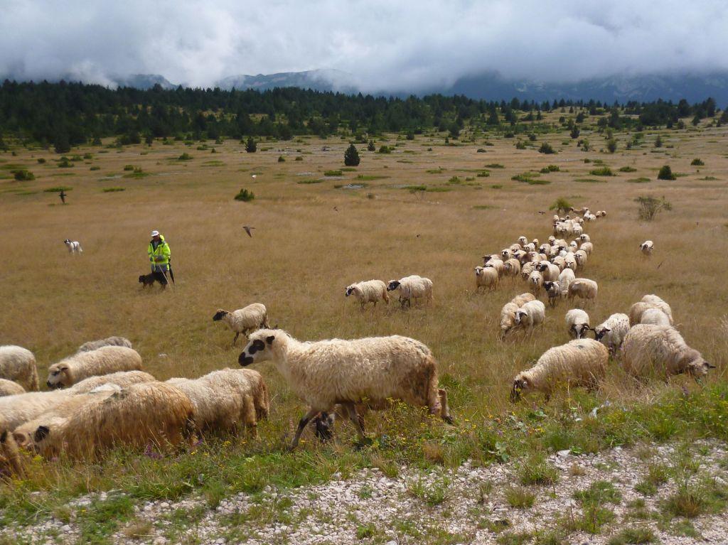 Овцы в Блидинье. Фото: Елена Арсениевич, CC BY-SA 3.0