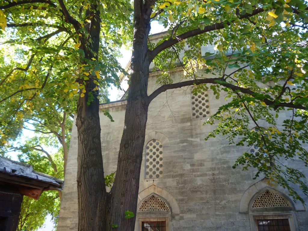 Старая липа у стен мечети. Фото: Елена Арсениевич, CC BY-SA 3.0