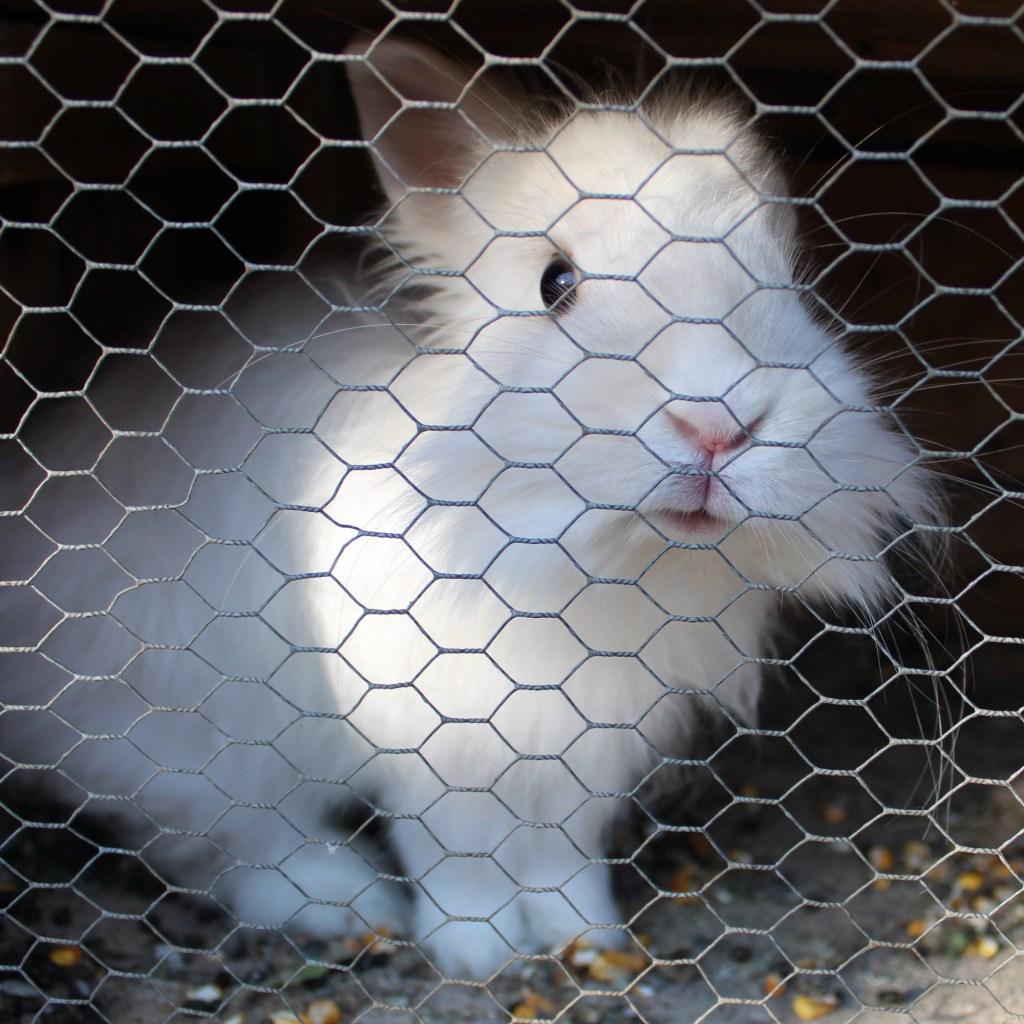 Белый кролик. Кто за ним?. Фото: Елена Арсениевич, CC BY-SA 3.0