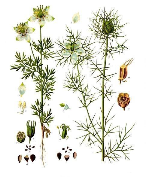Чернушка посевная, ботаническая иллюстрация. Franz Eugen Köhler, Köhler's Medizinal-Pflanzen, Public Domain