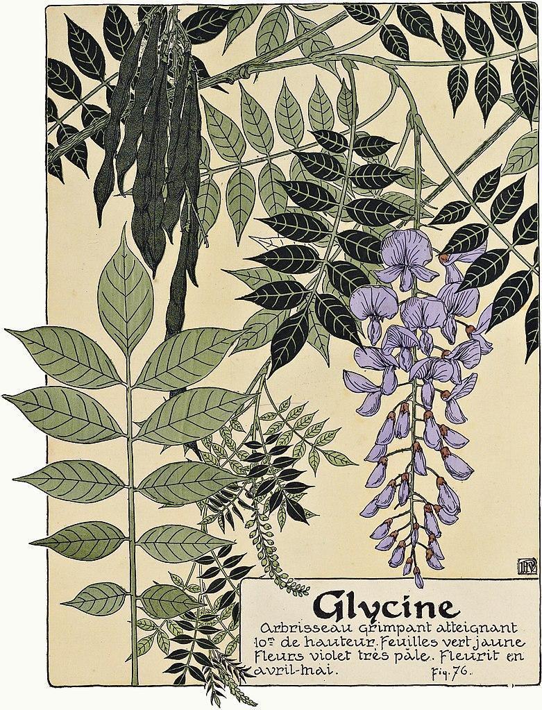 Глициния. Ботаническая иллюстрация. Maurice Pillard Verneuil, Public Domain