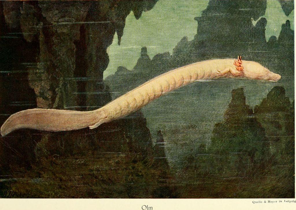 Протей европейский, пещерный житель. Sternfeld, Richard, No copyright