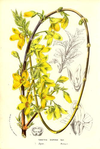 Форзиция. Ботаническая иллюстрация. Flore des serres et des jardins de l'Europe by Charles Lemaire and others, Public Domain