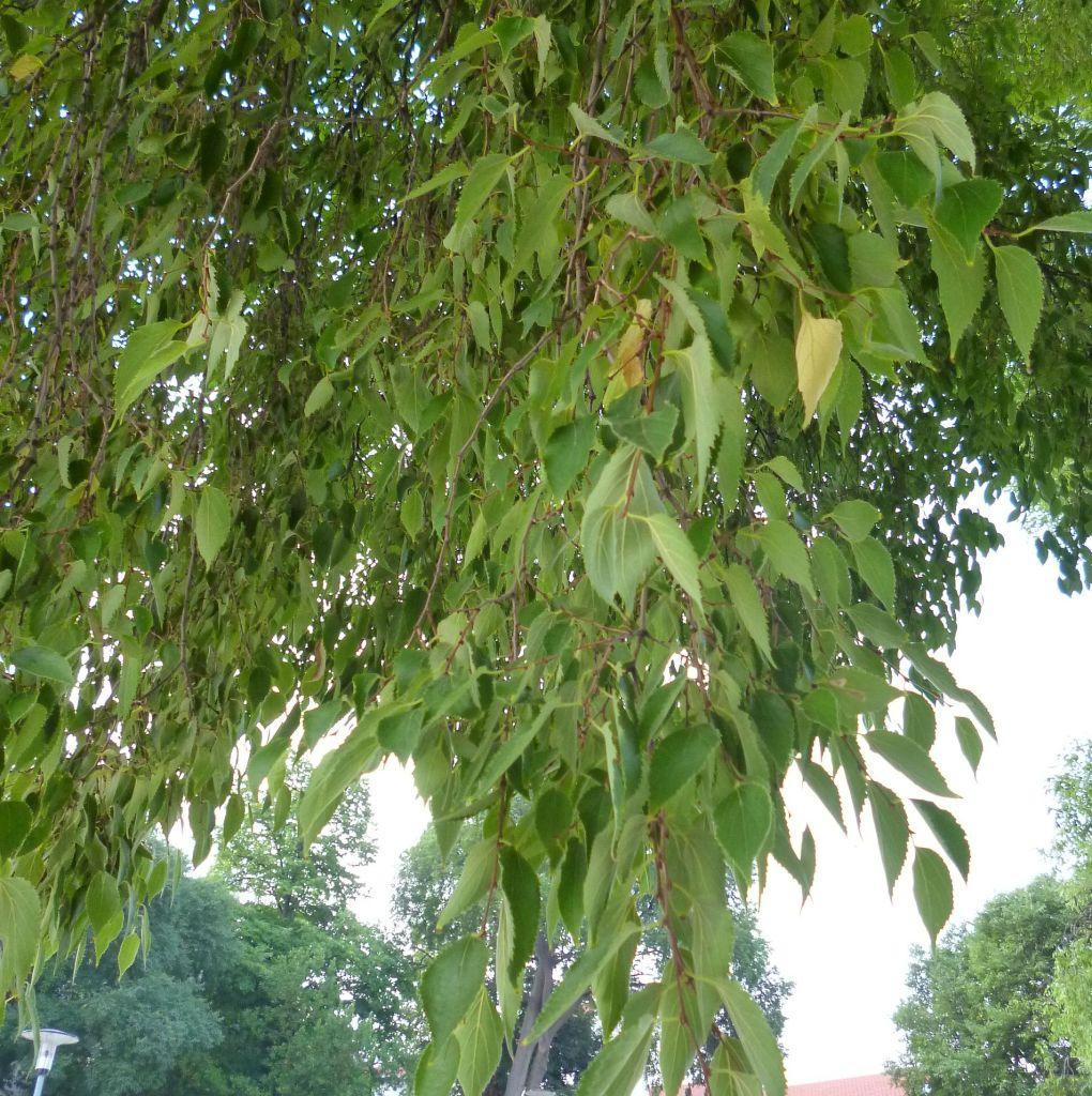 Листья похожи на крапивные. Фото: Елена Арсениевич, CC BY-SA 3.0