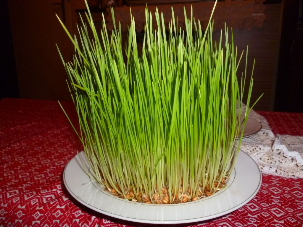 Пшеница к Рождеству. Фото: Елена Арсениевич, CC BY-SA 3.0