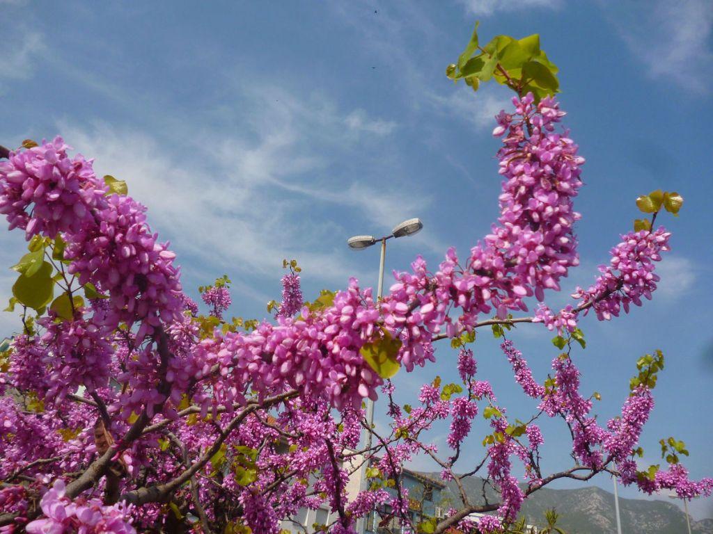 Ветки багрянника. Появились листья, значит, цветение подходит к концу. Фото: Елена Арсениевич, CC BY-SA 3.0
