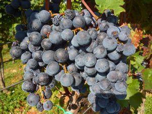 Ягоды в грозди обычно разного размера. Фото: Елена Арсениевич, CC BY-SA 3.0