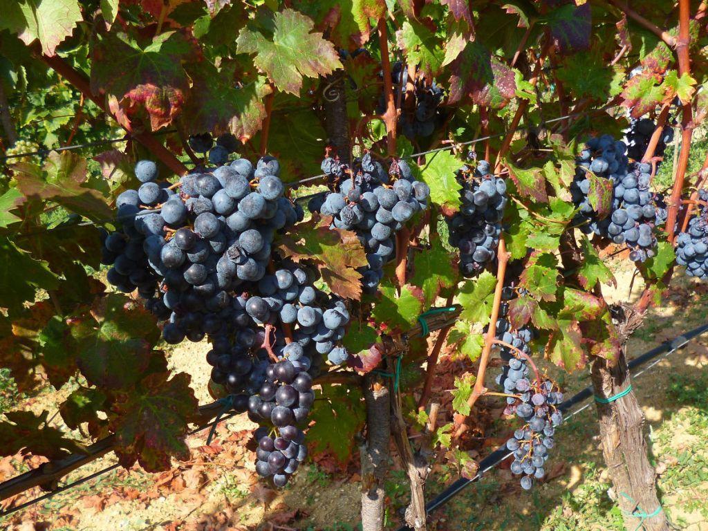 Одна лоза даёт до двух килограммов винограда. Фото: Елена Арсениевич, CC BY-SA 3.0