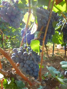 Вес гроздей до 300 граммов. Фото: Елена Арсениевич, CC BY-SA 3.0